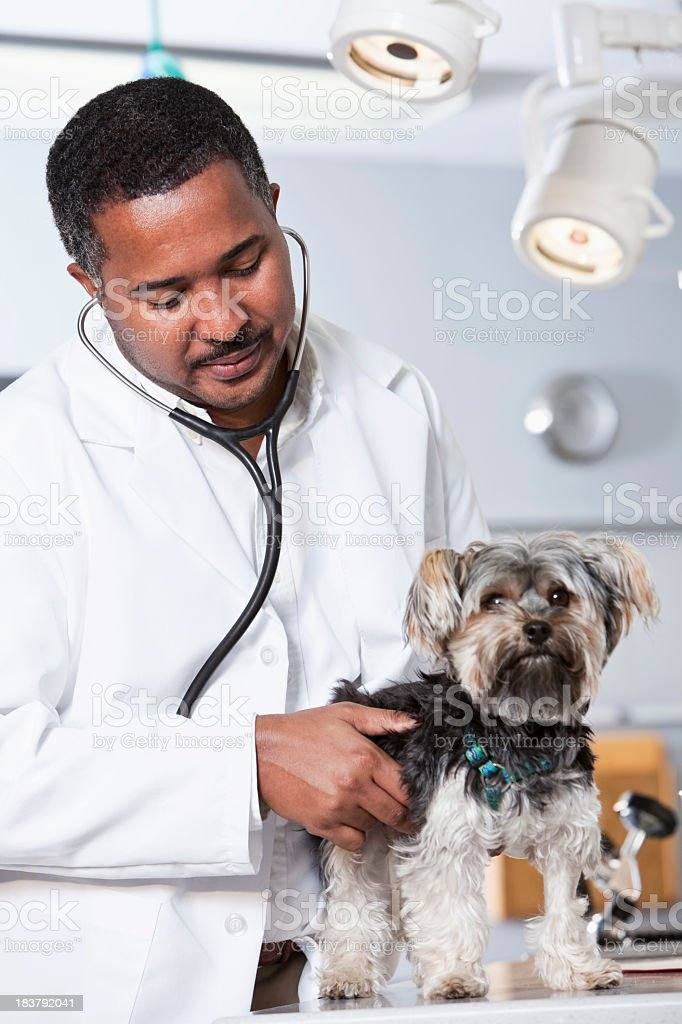 African American veterinarian examining dog with stethoscope stock photo