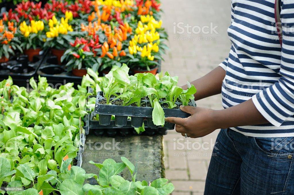 African American Woman Selecting Seedlings/ Plants stock photo