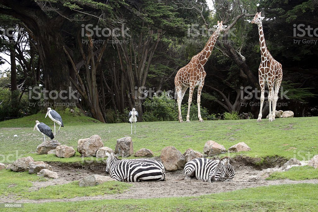 African Animal Exhibit at the San Francisco Zoo Safari stock photo