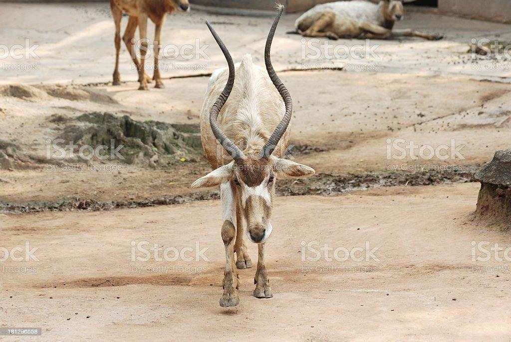 African animal oryx gemsbok stock photo