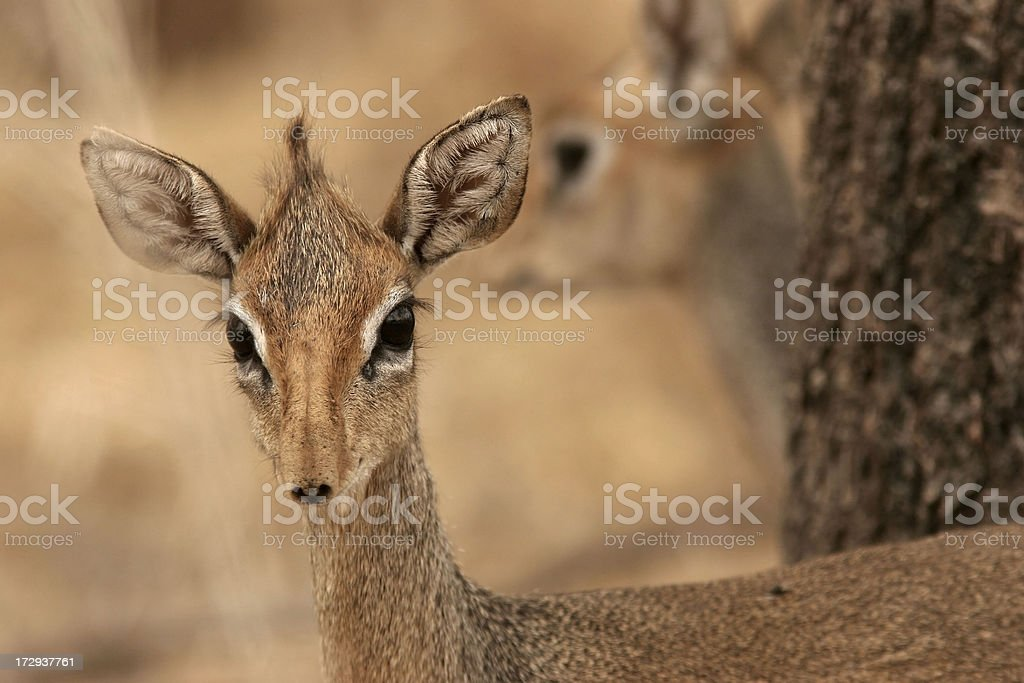 African antelope bambi stock photo
