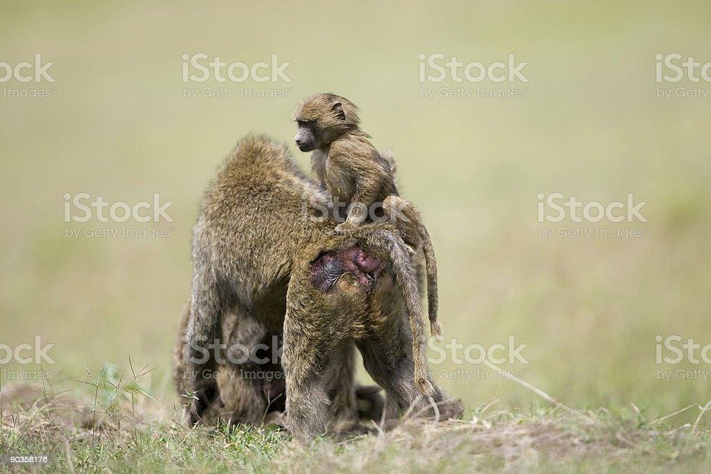 Babouin africaine bébé joue photo libre de droits