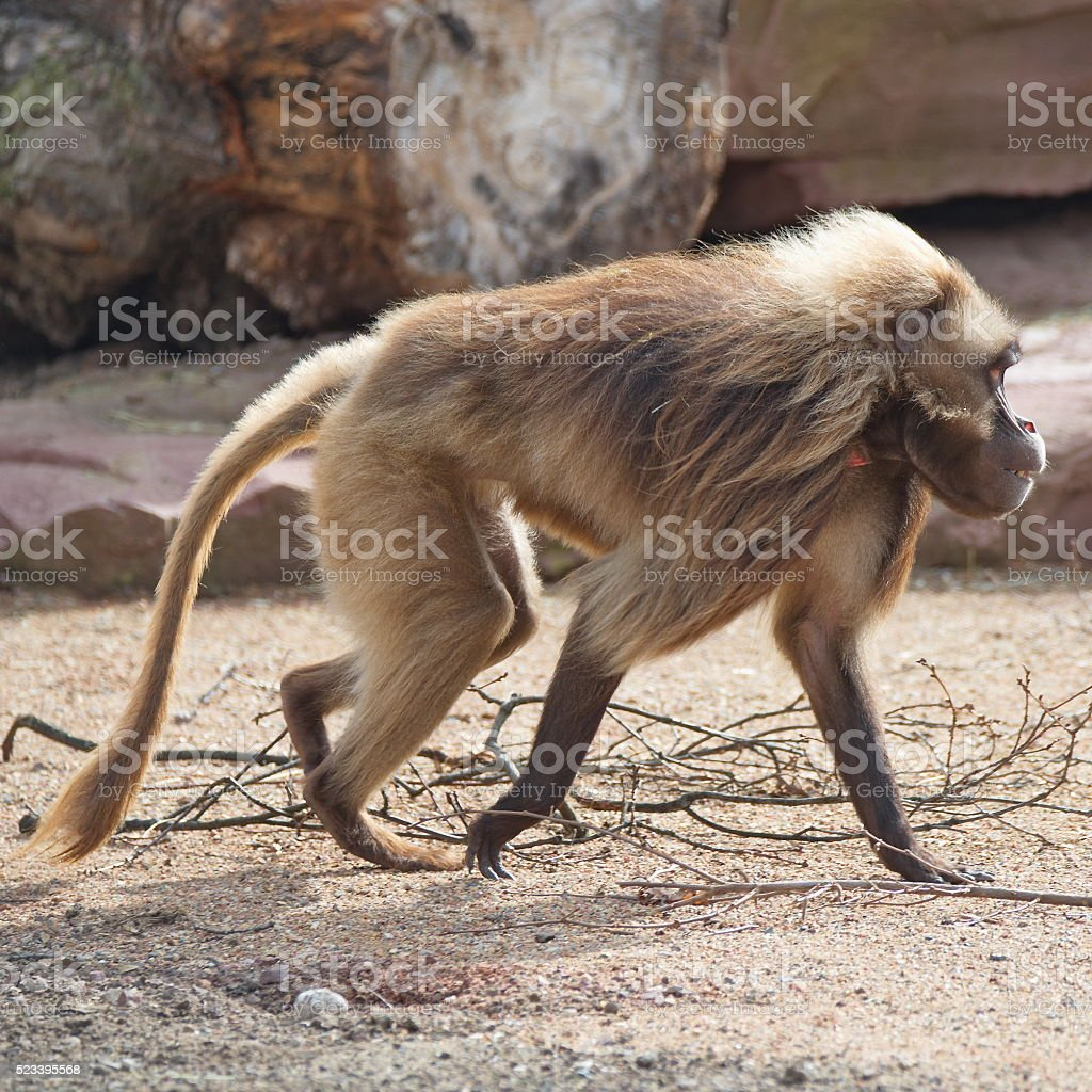 African baboons in the open resort, Magdeburg, Germany stock photo