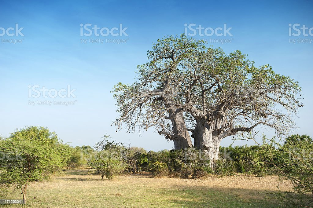 African Baobab tree in Plains of Selous Game Reserve, Tanzania royalty-free stock photo