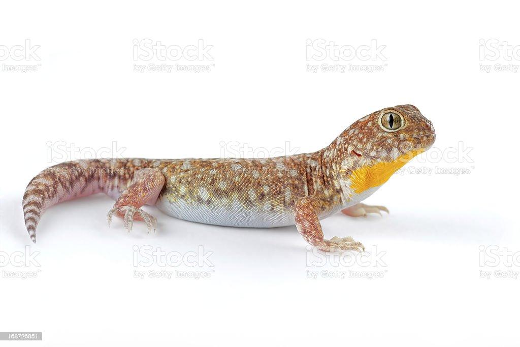 African barking gecko stock photo