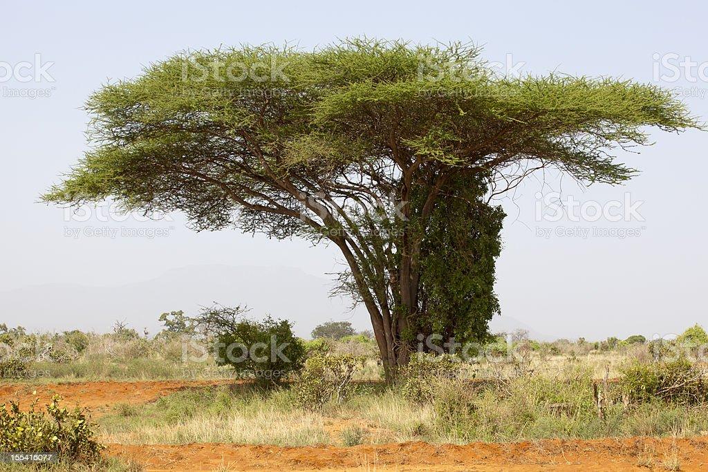 African Beautiful Acacia Tree royalty-free stock photo