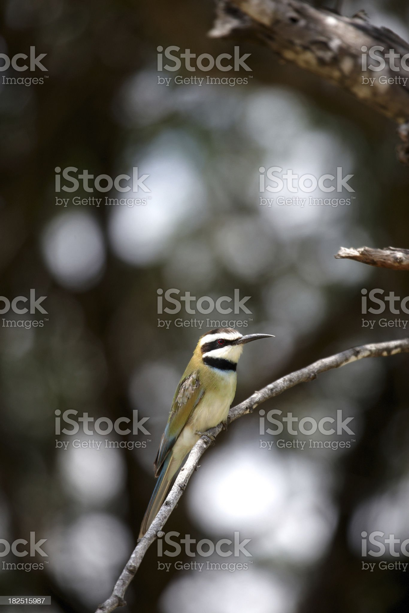 African bee-eater perched royalty-free stock photo