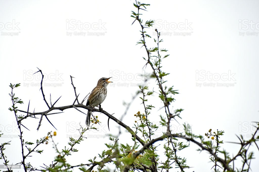African bird calls from its perch stock photo