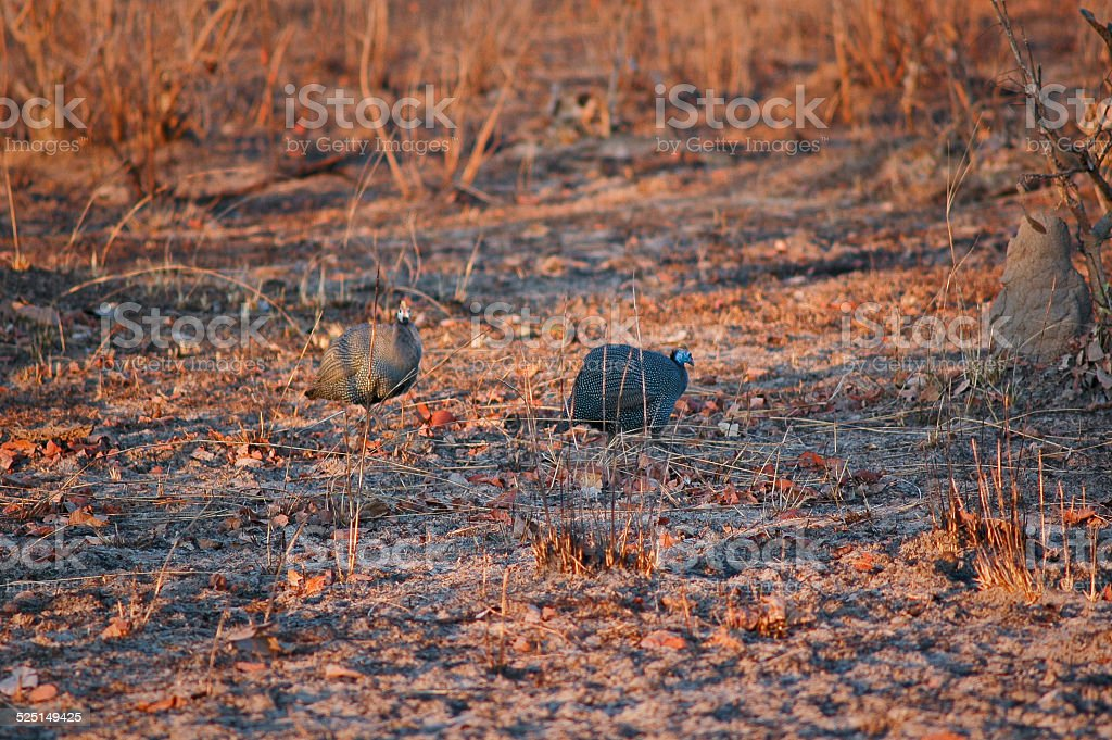 African birds helmeted guineafowl (Numida meleagris) stock photo