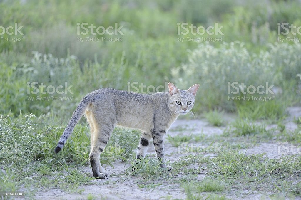 African Black-footed Cat stock photo
