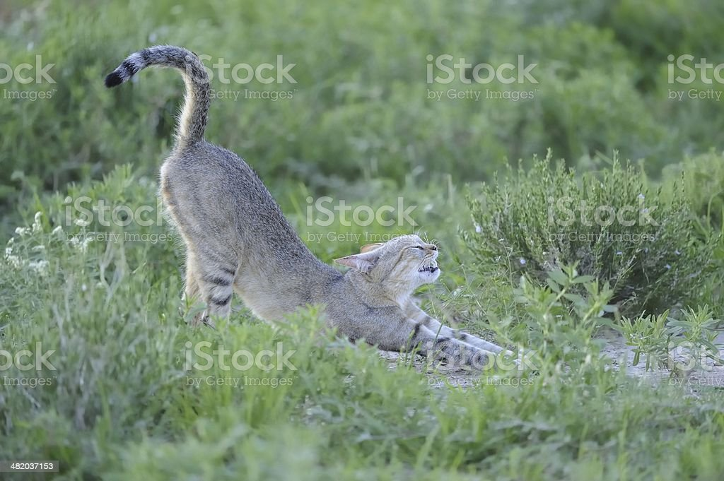 African Black-footed Cat royalty-free stock photo