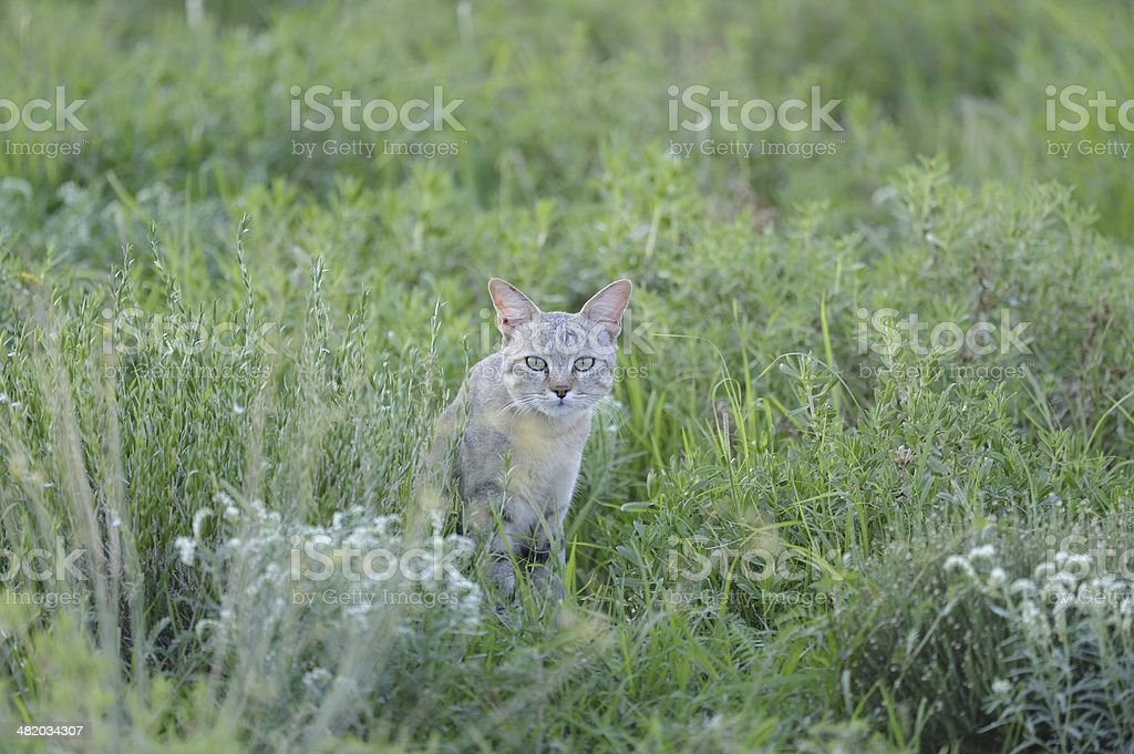 African Black-footed Wildcat stock photo