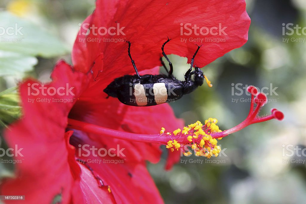 African Blister Beetle Feeding on Hibiscus royalty-free stock photo
