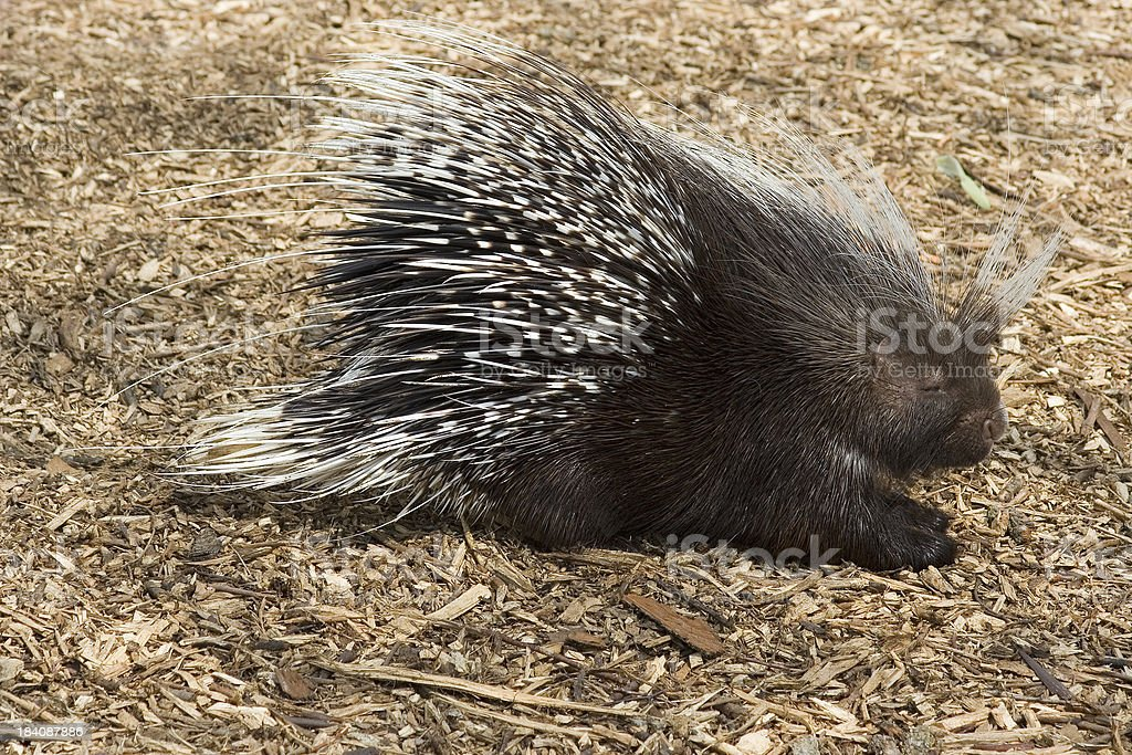African brush tailed porcupine stock photo