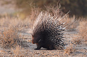 African brush-tailed porcupine with raised quills