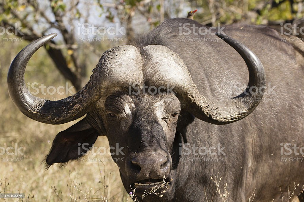African buffalo bull stock photo