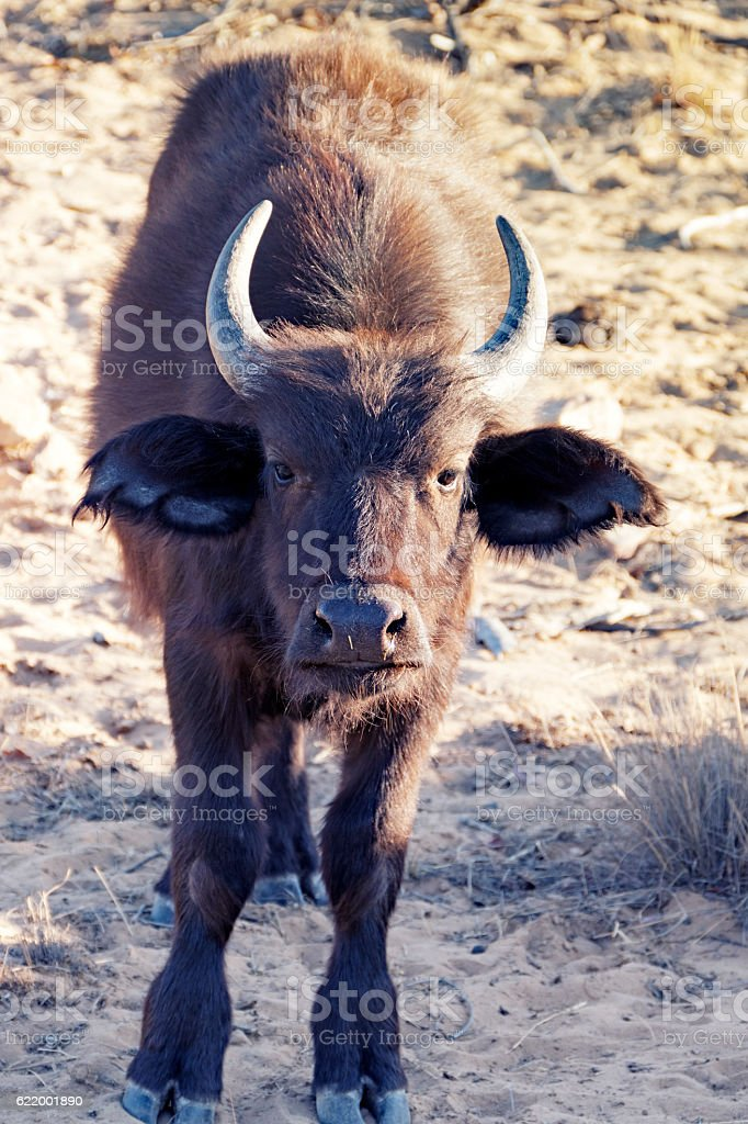 African buffalo calf looking at the camera stock photo