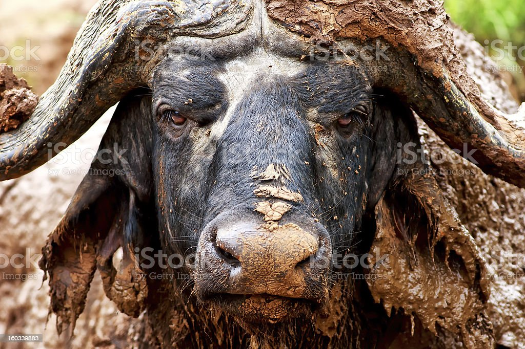 African buffalo covered in mud stock photo