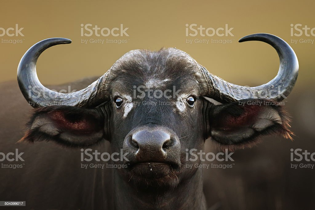 African buffalo Cow Portrait stock photo