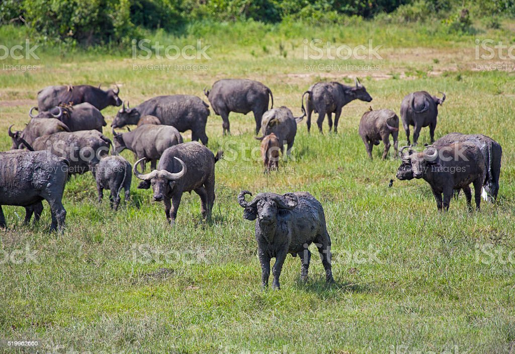 African Buffalo herd grazing stock photo