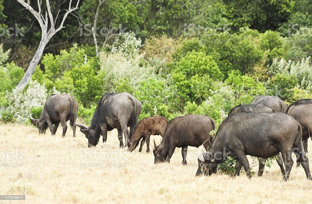 African Buffalo in wild royalty-free stock photo
