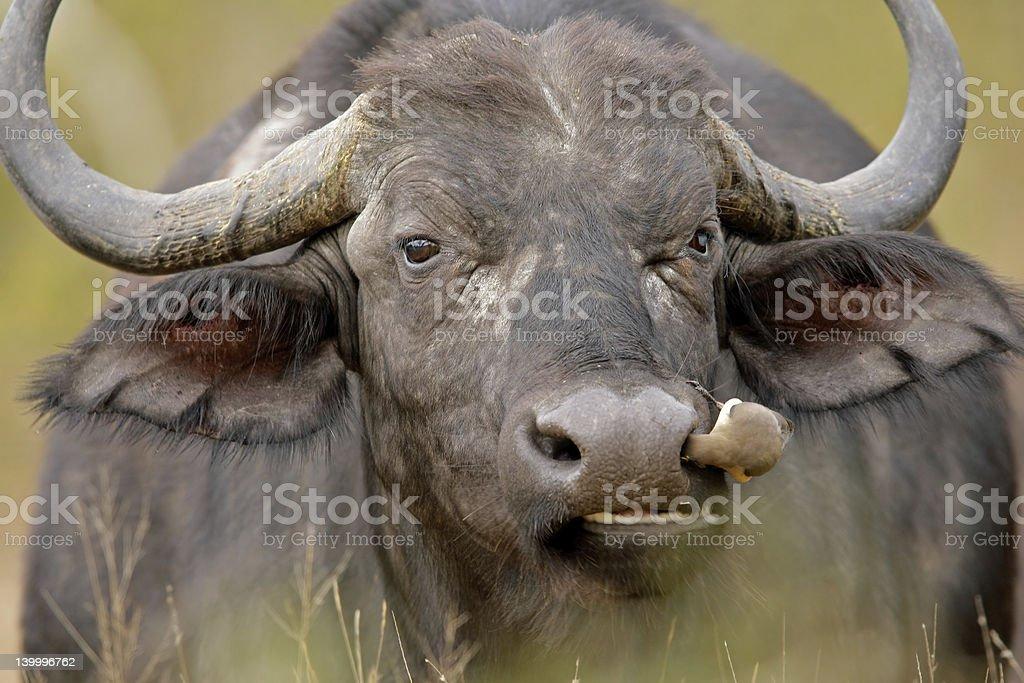 African buffalo royalty-free stock photo
