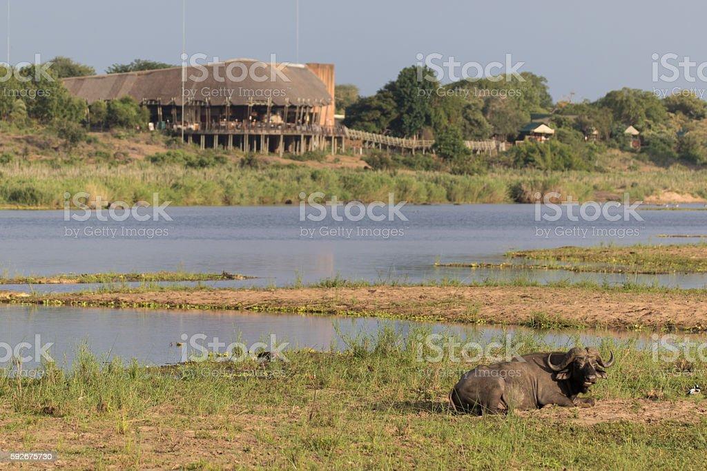 African buffalo stock photo