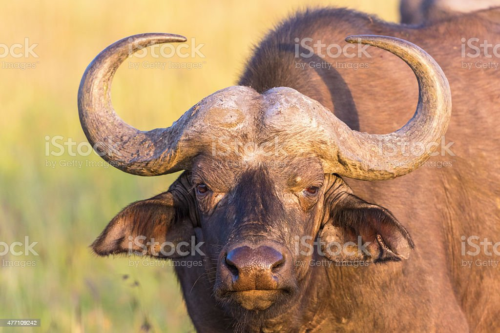 African buffalo portrait stock photo