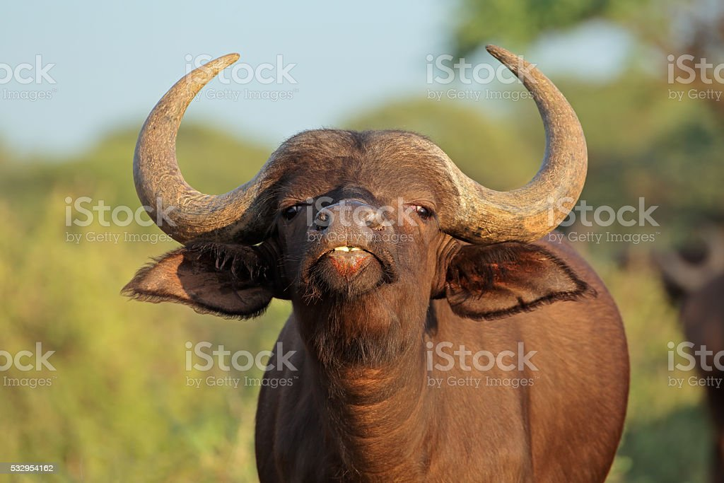 African buffalo portrait stock photo