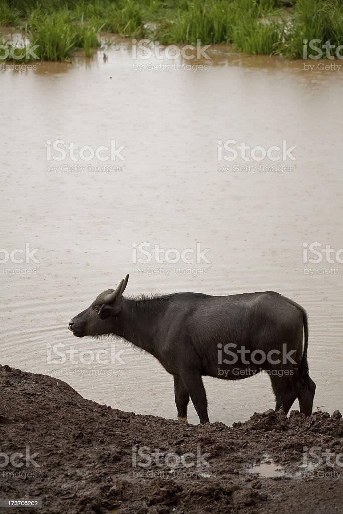 African buffalo safari in Kenya royalty-free stock photo