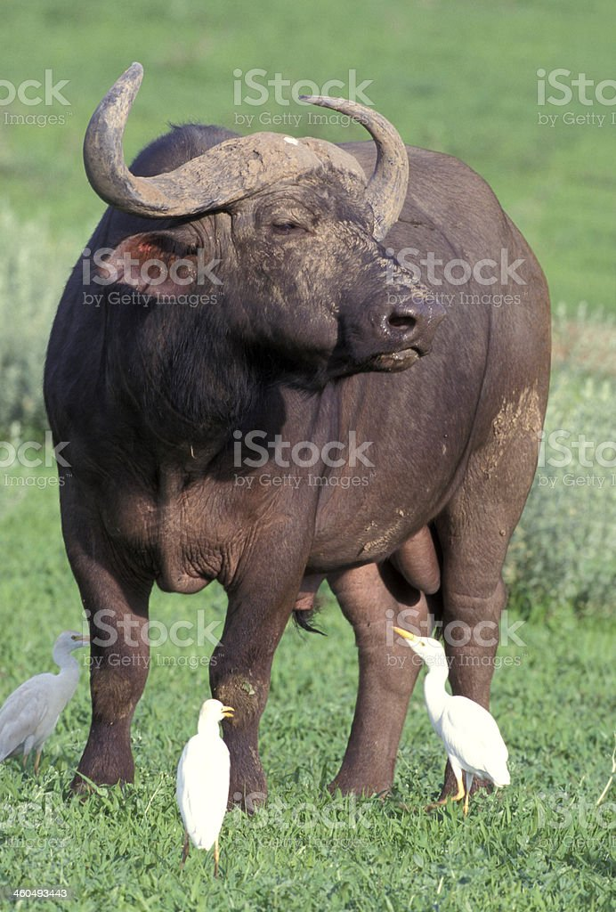 African buffalo,  Syncerus caffer, stock photo