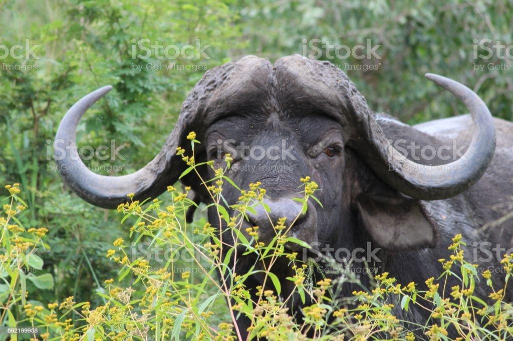 African Buffalo with horns / waterbuffel met hoorns stock photo