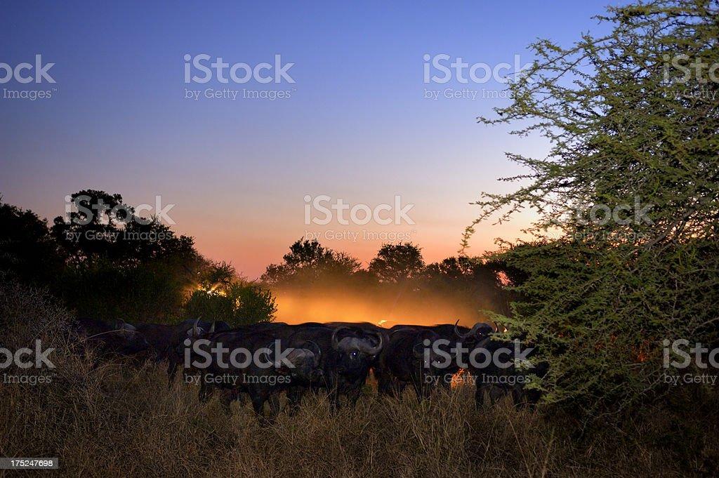 African Buffalos after sunset stock photo