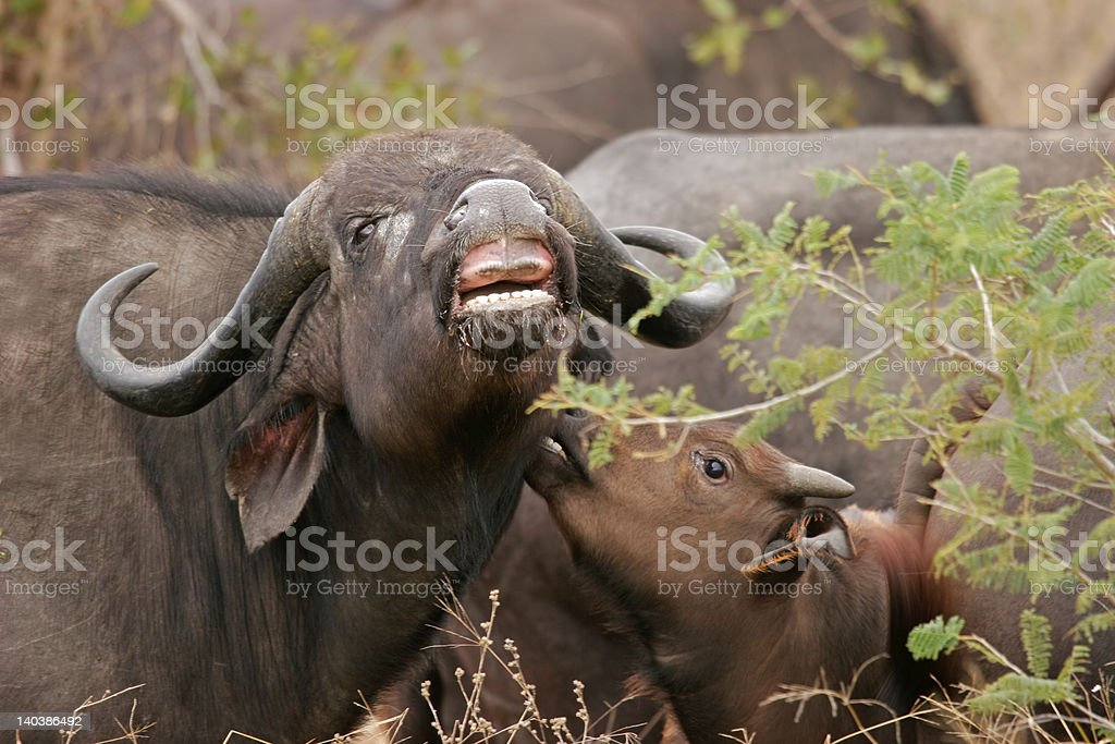 African buffalos royalty-free stock photo