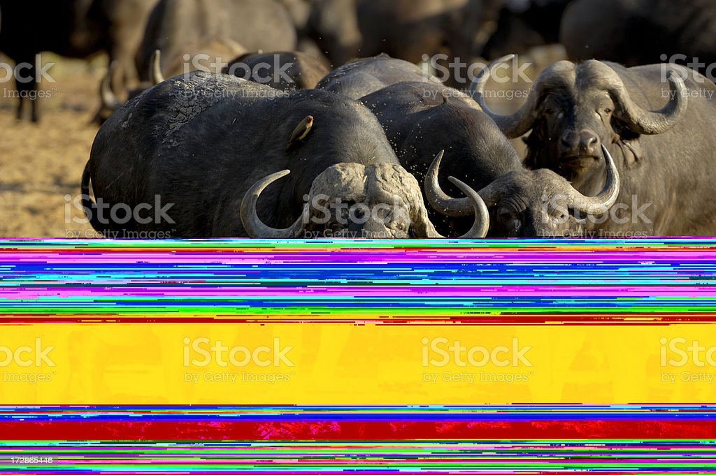 African buffalos watching us stock photo