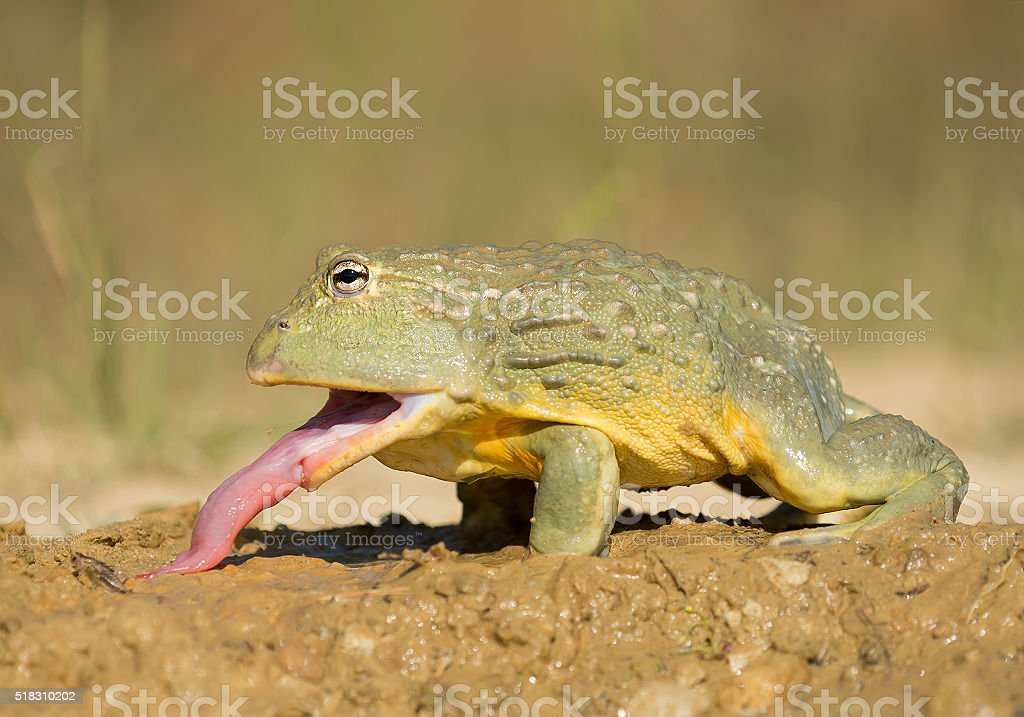 African bullfrog in the mud stock photo