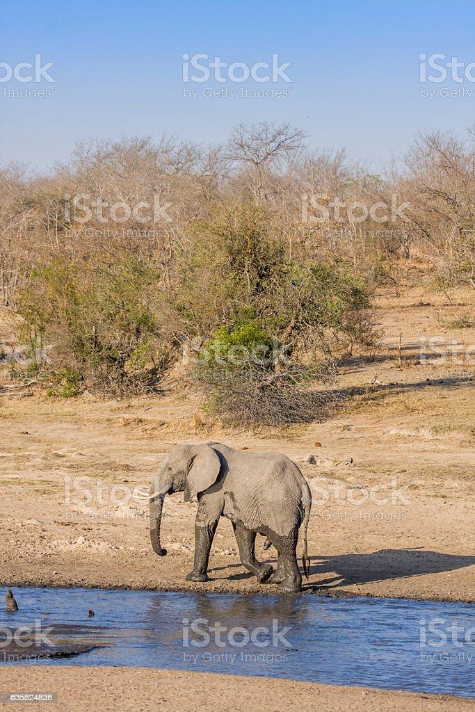 african bush elephant drinking waterin the riverbank stock photo