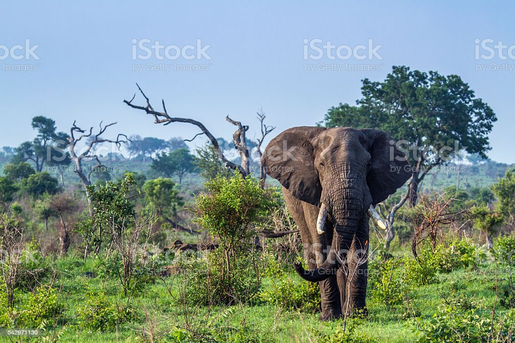 African bush elephant in Kruger National park, South Africa stock photo