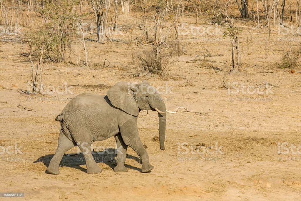 african bush elephant in the riverbank in Kruger, South Africa stock photo