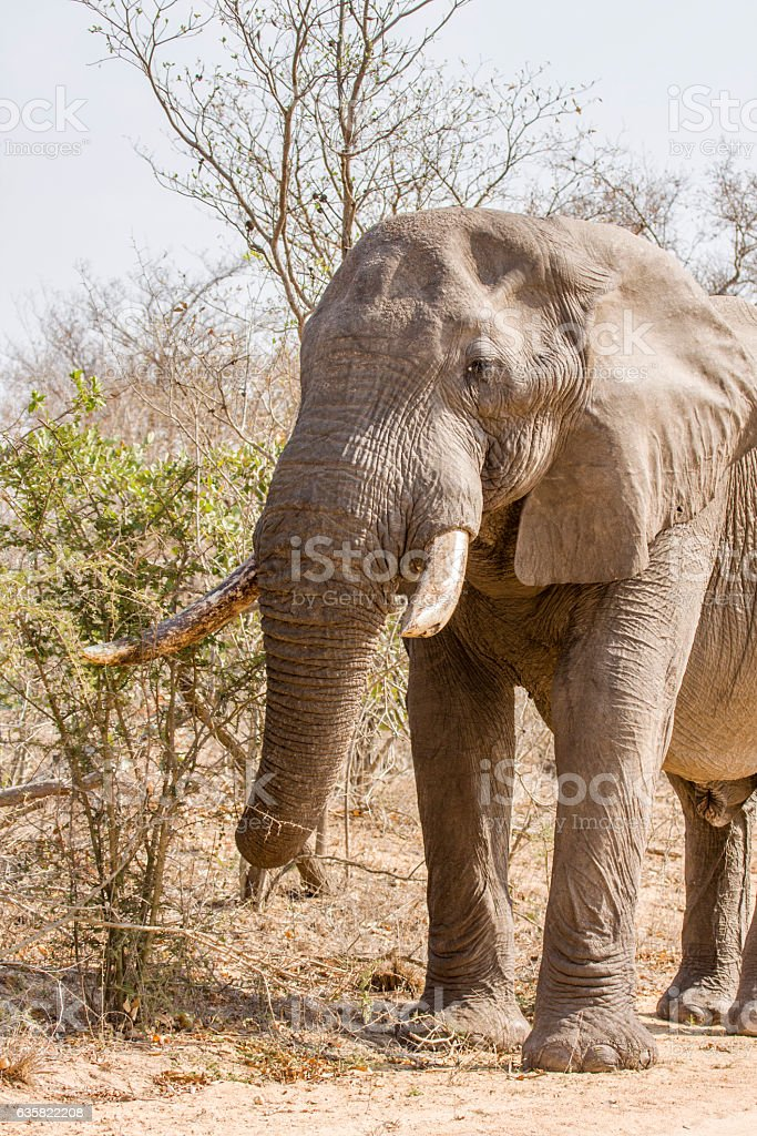 african bush elephant in wide angle stock photo