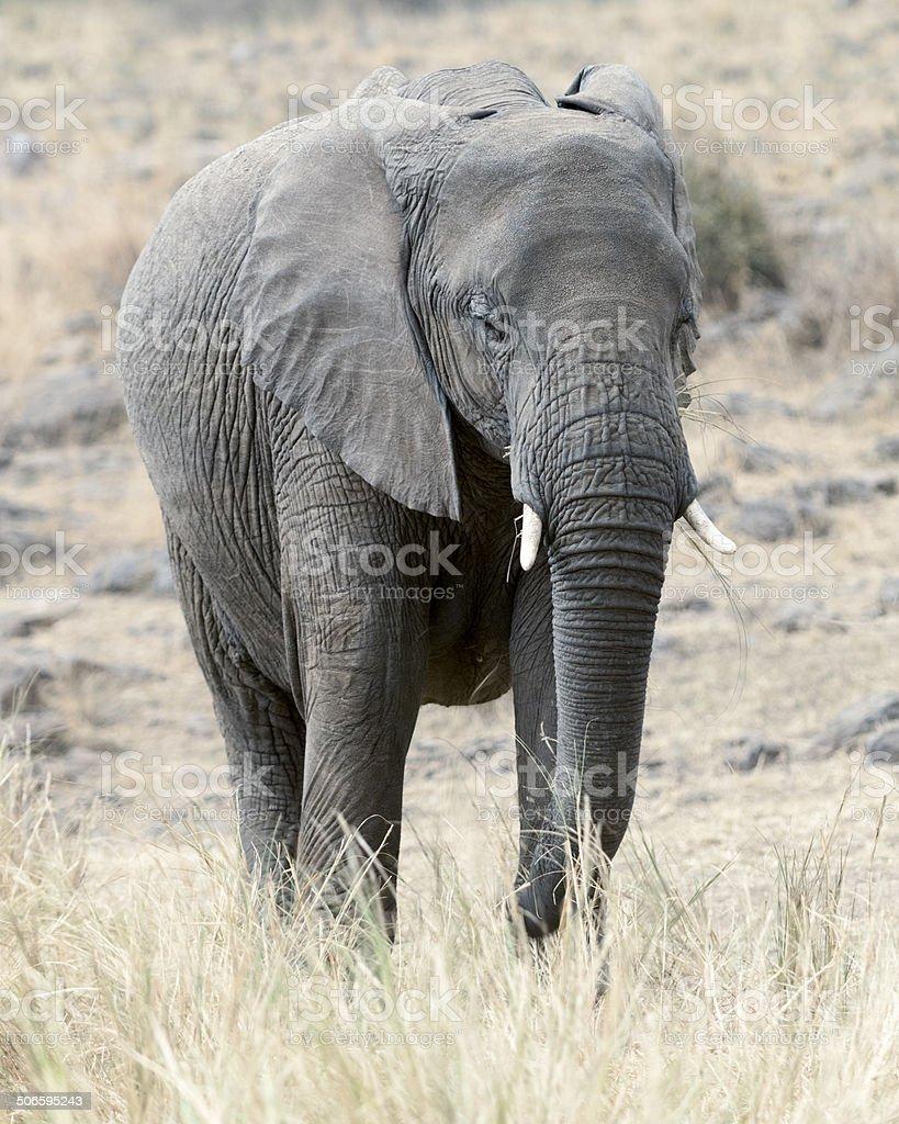 African Bush Elephant royalty-free stock photo