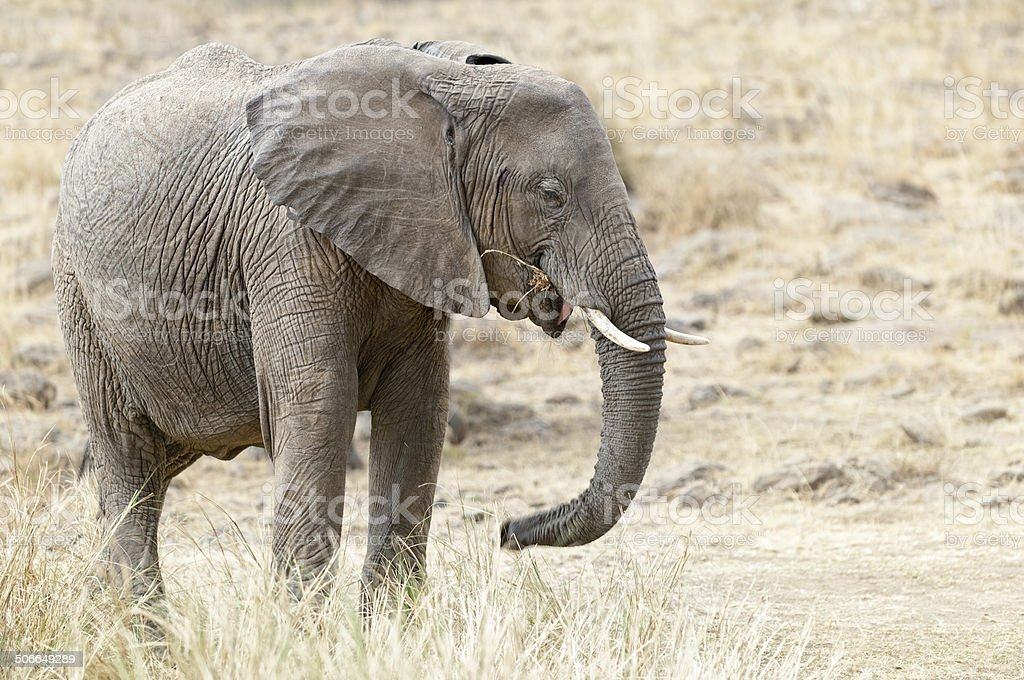 African Bush Elephant royalty-free stock photo