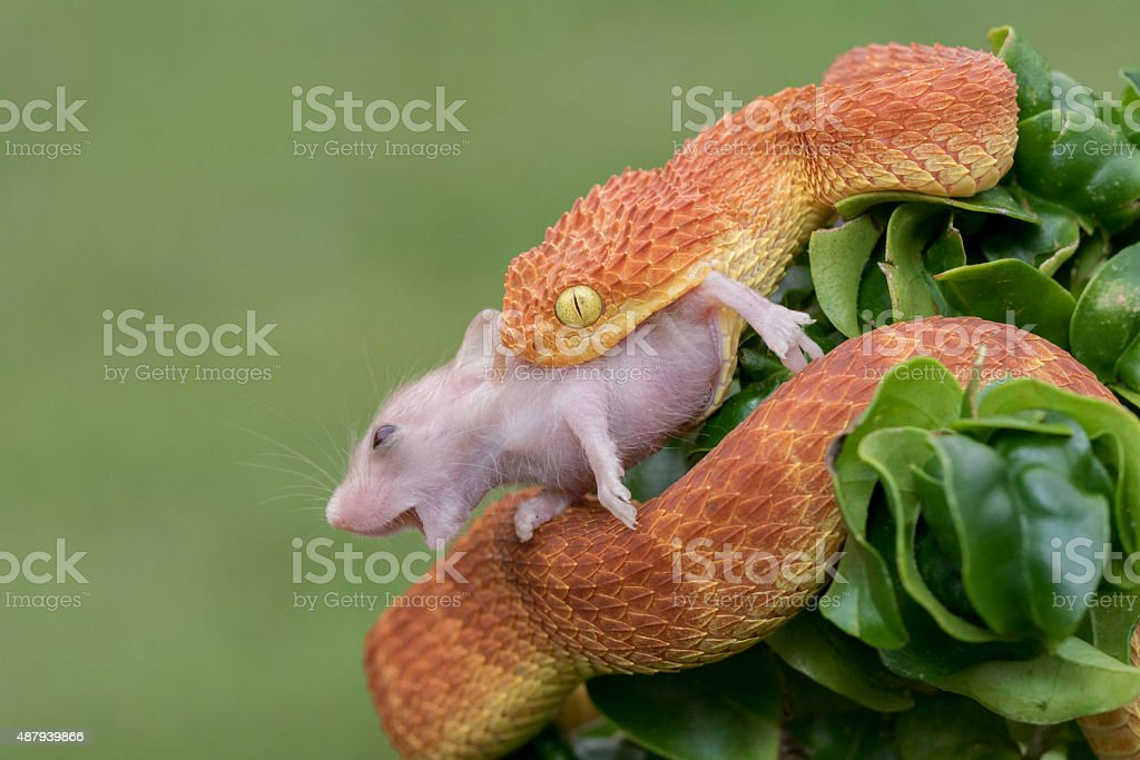 African Bush Viper Snake Eats Young Field Mouse stock photo