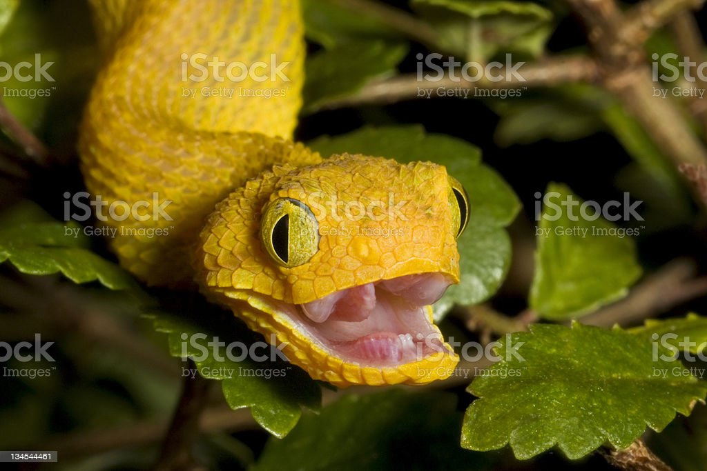 African Bush Viper with Open Mouth stock photo