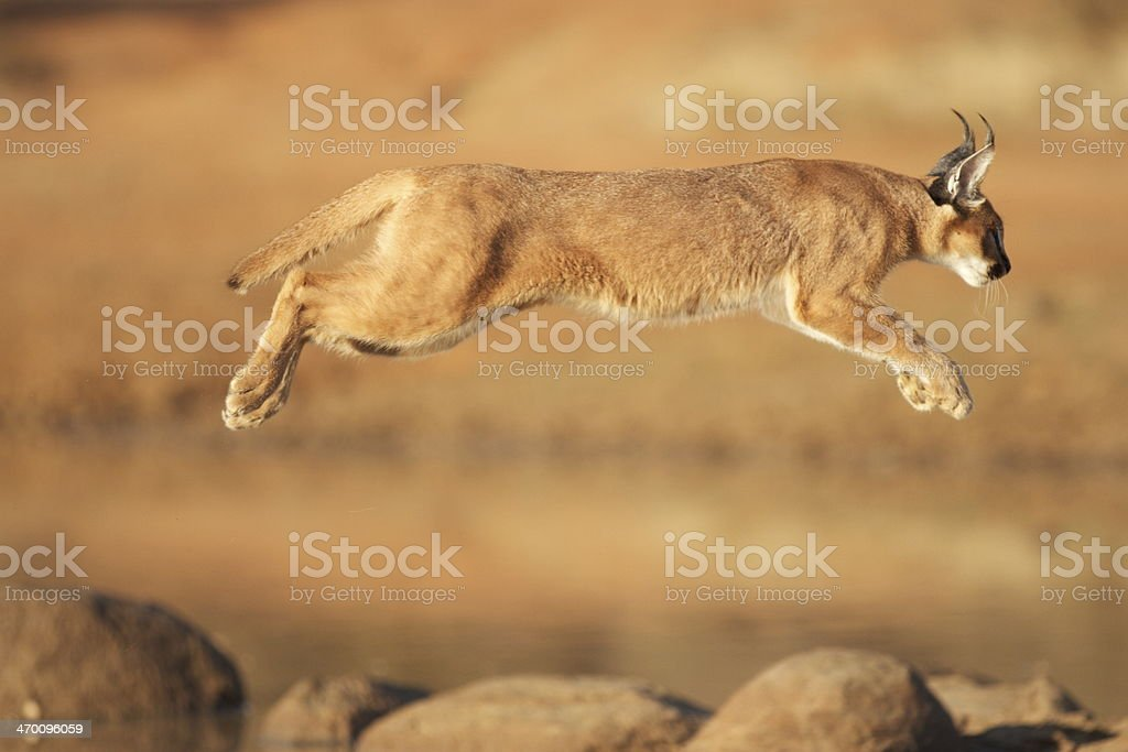 African Caracal jumping over a dam stock photo