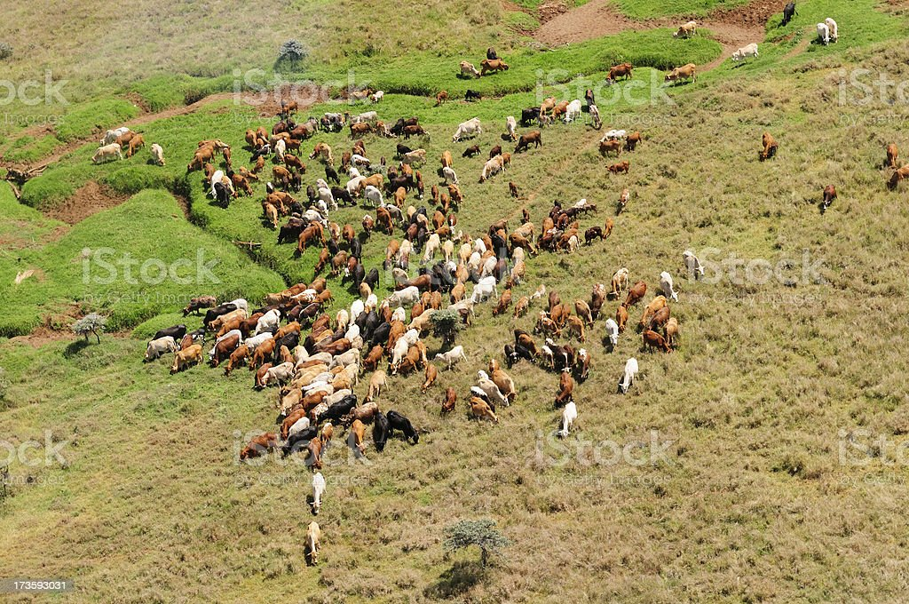 African Cattle Herd royalty-free stock photo