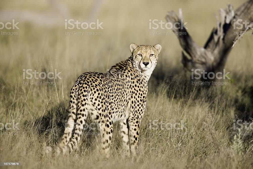 African Cheetah stock photo