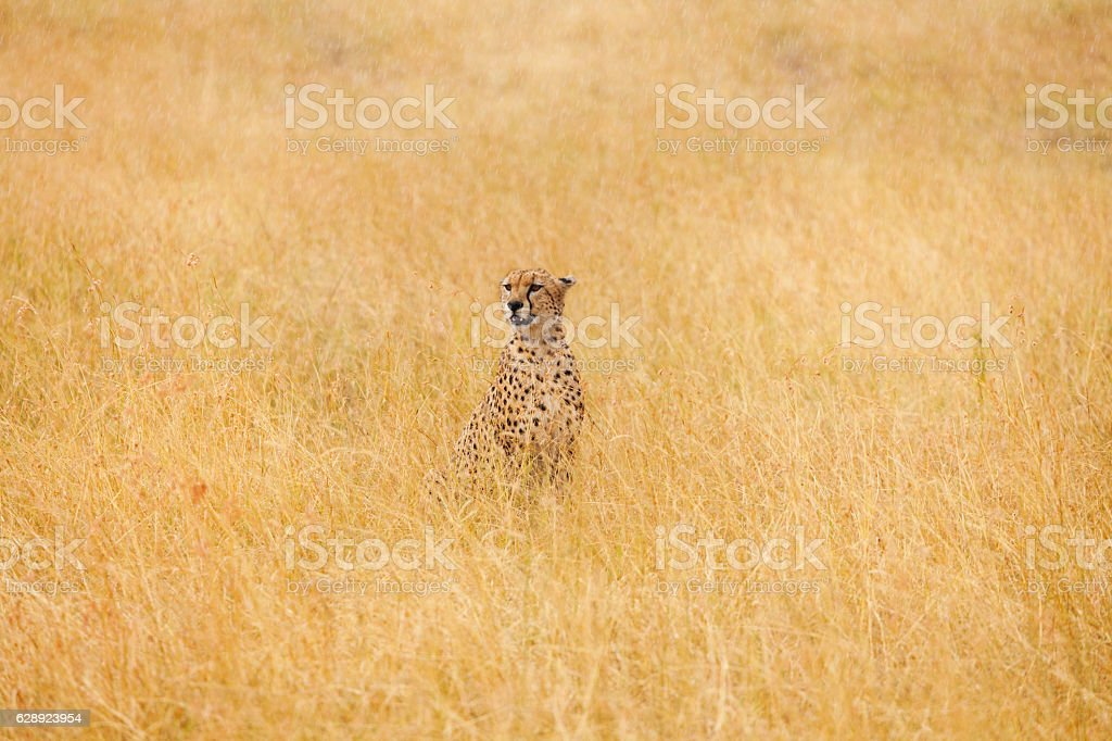 African cheetah sitting in the long dried grass stock photo
