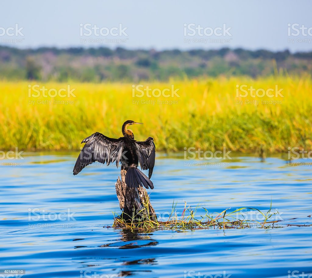 African cormorant sitting on a tree stock photo