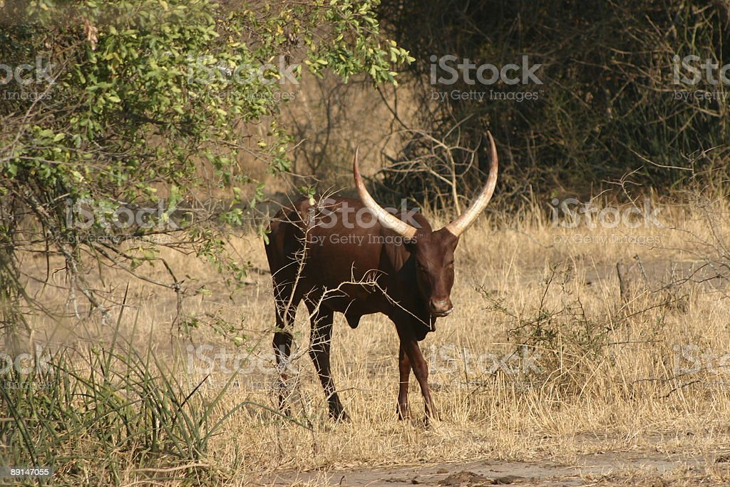 African Cow royalty-free stock photo